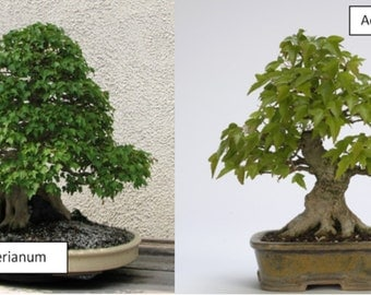 Bonsai Seed Collection - 10 Varieties = Trees/Topiary Seeds