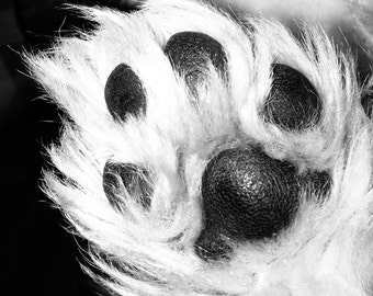 Black and white photography - Westie Puppy Pawprint
