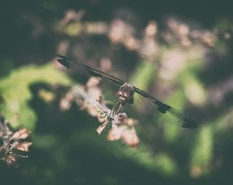 Nature photography print, dragonfly photography, dragonfly wings, nature decor