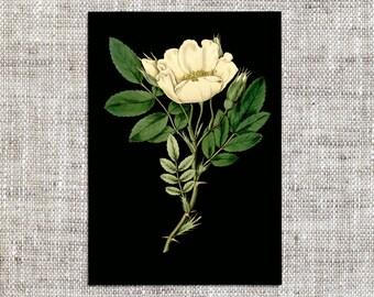 Botanical Art Print - Vintage Rose Illustration - Antique Print - Illustration - Printable - Digital - Botanical - Print - Rose - JPEG - PNG