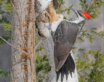 Wonderful woodpecker