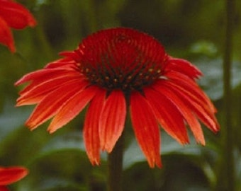 25+ Ruby Red Echinacea Coneflower / Long-Lasting Perennial Flower Seeds