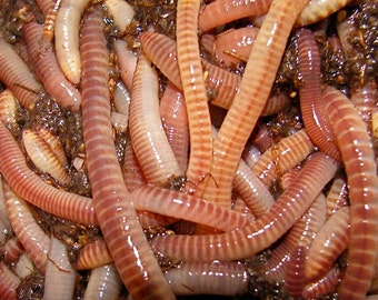European Nightcrawler Cocoons Baby Worms Colony Starter Mix & Free Grow Guide