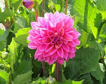 Hot Pink Dahlia Photograph
