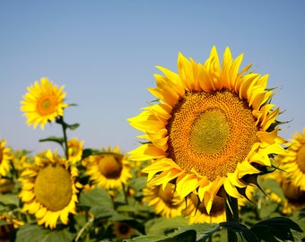 Vibrant sunflowers in field.