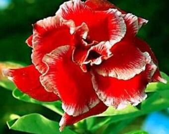 Adenium Obesum Desert Rose ' Double Santa 5 Seeds