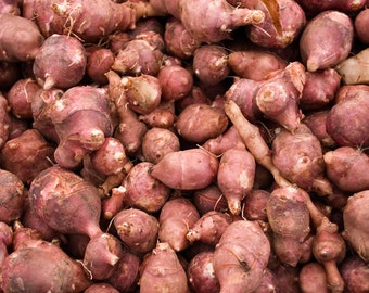 1LB Red Jerusalem Artichoke Tubers (Organic) - Winter Hardy Red Fuseau Variety - For planting or eating -- Bitcoin accepted here!