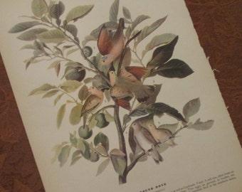 Vintage Bird Illustration - Audubon Book Plate - Ground Dove
