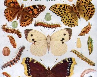 1922 Chart of British Butterflies Moths Caterpillars Natural History Lepidoptera to Frame