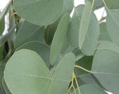 Fresh Wild Silver Dollar/ Banana shaped Eucalyptus Leaves, Euca Leaves, Eucalyptus Leaves/Stems Cuttings, Eucalyptus garland supply, Eco dye