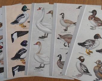 Set of 5 Duck Prints, Vintage 1942 bird illustration, Goose, old prints as wall art, home decor
