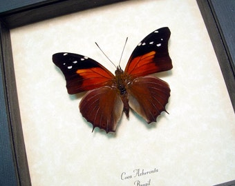 Real Framed Coea Acheronta Rainforest Sunset Butterfly 505