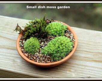 Terrarium-DIY live moss Mini Moss garden-Fairy Garden-Small Moss garden dish planter filled with live moss & tiny gravel