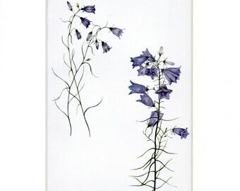 Beautiful Antique 1908 Botanical Print of Harebell Flowers by Elizabeth Gwatkin