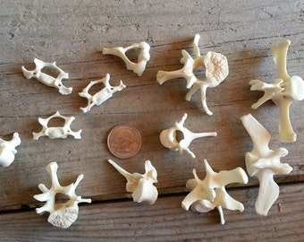 Beaver Vertebra - Real Vertebrae - Real Bone -  6 Pieces - Stock No. 1-200