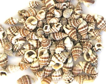 Seashells - Nassarius Seashells - 1/2 cup - approx. 120 - brown ivory sea shells craft shells