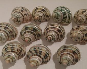 Spiral Jade Turbo Shell - Polished Shells - Brown and Green Shells - 11 Shells