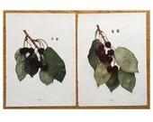two VINTAGE CHERRY LITHOGRAPHS from 1915 -  original vintage fruit botanical prints -  set of two prints - mezel & eagle cherries