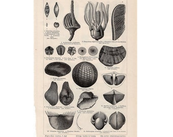 1894 ANTIQUE SEED LITHOGRAPH seeds & pods original antique botanical print