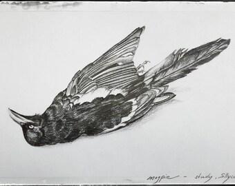 Magpie  - drawing,  pencil, graphite, ink, bird, raven black, nocturnal, dark, gothic, natural death, memento mori