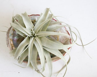 Xerographica Air Plant, With Large Abalone Shell, Airplant Display, Boho Beach Cottage Decor, Nautical, Sea Shells and Airplants