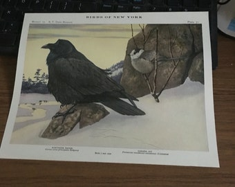 Circa 1915 Plate 71 Northern Raven Canadian Jay print image 7 x 11 approx. great image 101 years old.