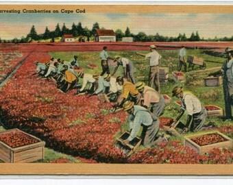 Harvesting Cranberries Farming Cape Cod Massachusetts linen postcard
