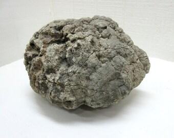 Antique Coprolite Specimen Petrified Dinosaur Poop Petrified Dinosaur Dung Coprolite Fossil Poop Lot Of 1