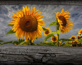 Sunflowers Blooming in a Field seen between Fence Rails No.10865 A Fine Art Yellow Flower Nature Photograph