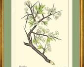 BLACKTHORN or SLOE - Botanical print reproduction 313