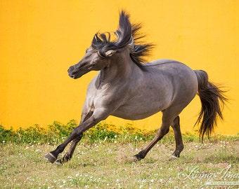 Sorraia Stallion Leaps - Fine Art Horse Photograph - Horse - Wild Horse - Fine Art Print
