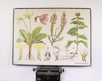 Vintage Botanical chart, Archange Nettle and Primula