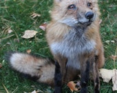 Posable Soft Mount Red Fox Taxidermy Oddities Curio