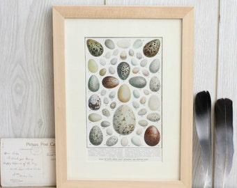 Vintage Birds Egg Bookplate Print, Framed