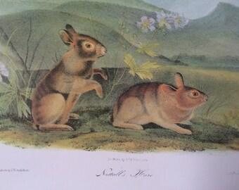 Nuttall's Hare Vintage Audubon Book Plate