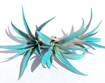 Turquoise Air Plant mix of 3