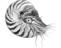 King Nautilus- Original Nautilus Art by Corina St Martin