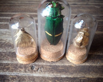 Three insect display beetle cicada skin butterfly insects bug natural curiosities display