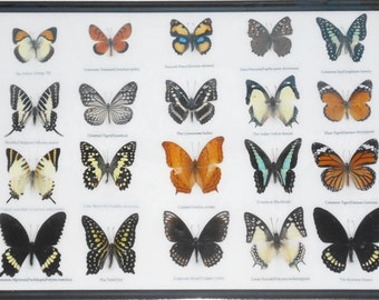 REAL 20 MIX BUTTERFLIES Collection Taxidermy Framed/BTF13L