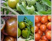 Three Zebra Heirloom Tomato Seeds  Collection Rare Non GMO