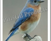 Note Cards:  Bluebird Male photo note cards