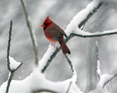 Cardinal in Snow, Red Bird, Songbird in Winter, Wildlife Nature Photograph, Woodland Branches in Snow, Red Cardinal, Falling Snow Art Photo