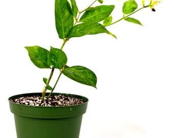 Jasminum Sambac Arabian Jasmine - 4'' Pot