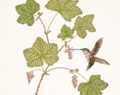 Rufus Hummingbird with Flowering Currant (Limited Edition Print)