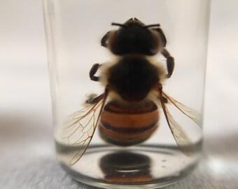 Single Bee Wet Specimen