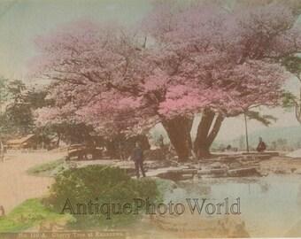 Cherry tree in Kanazawa Japan antique hand tinted albumen photo