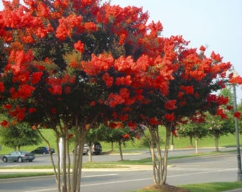Red Rocket Crape Myrtle Tree - Live Plant - Trade Gallon Pot