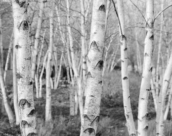 Birch Trees art photography in black and white, 8x10 nature photo print, pictures of birch trees, home decor 12x12 12x18 12x24 16x20 20x30