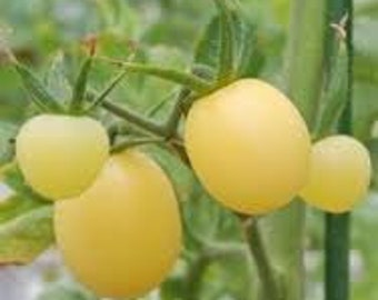 White Cherry Tomato, heirloom tomato gardeningseeds