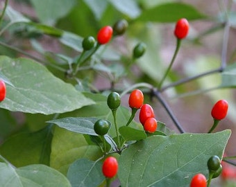 Pequin Pepper, 10 seeds, iconic wild heirloom  hot pepper